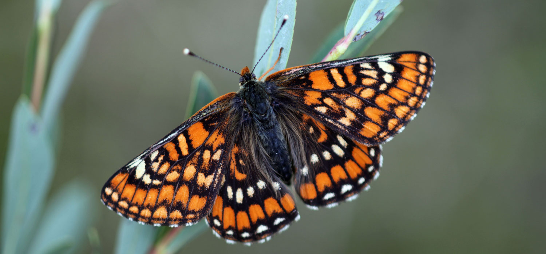 La liste rouge des papillons de jour de france m tropolitaine uicn france - Images de papillon ...
