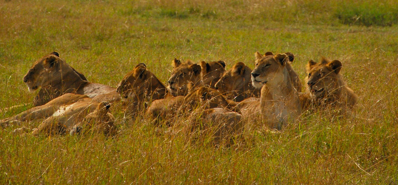 érosion biodiversité - lion d'Afrique