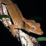 Gecko_a_crete_-_Tony_Whitaker