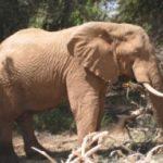 elephant_Afrique-250x206