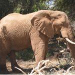 Elephant_d_Afrique_Photo_Jean-Christophe_Vie-250x208
