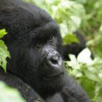 Gorille_des_montagnes_-_G_Collin