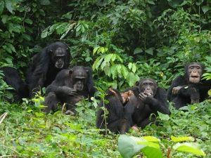 Chimpanzes de boussou