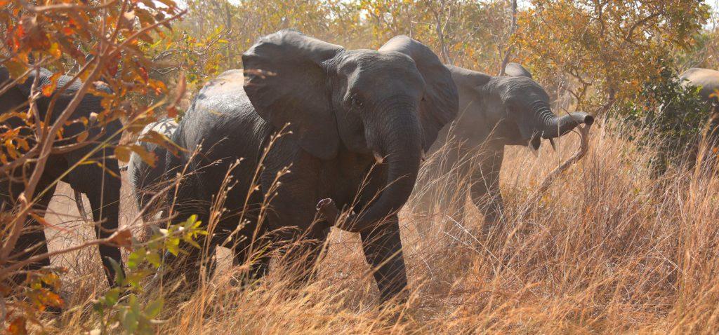 liste rouge éléphants