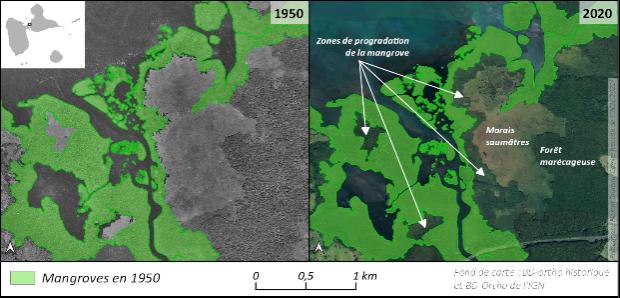 Mangrove Guadeloupe évolution